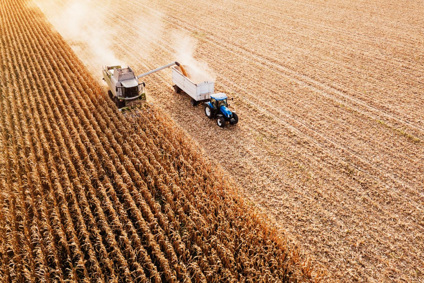 Corn field being harvested