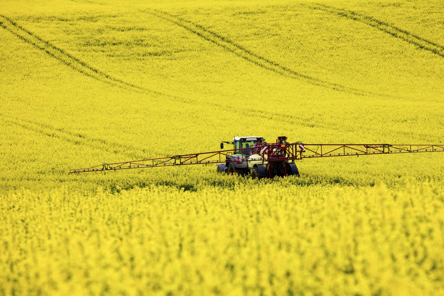 Rapeseed being harvested